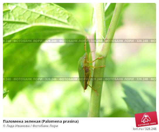 Паломена зеленая (Palomena prasina), фото № 328248, снято 15 июня 2008 г. (c) Лада Иванова / Фотобанк Лори