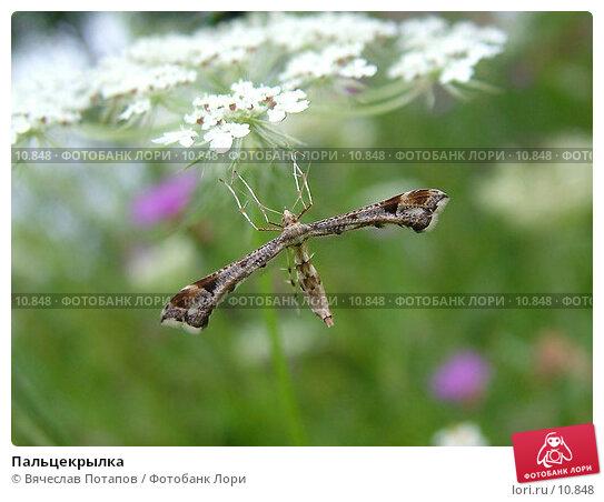 Пальцекрылка , фото № 10848, снято 11 августа 2004 г. (c) Вячеслав Потапов / Фотобанк Лори