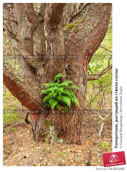 Папоротник, растущий из ствола сосны. Стоковое фото, фотограф Ельцов Владимир / Фотобанк Лори
