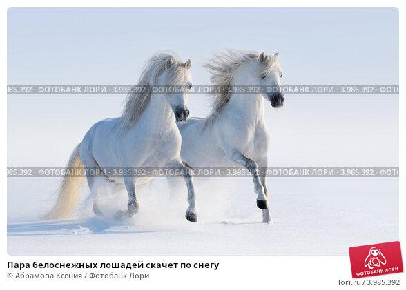 Купить «Пара белоснежных лошадей скачет по снегу», фото № 3985392, снято 15 февраля 2012 г. (c) Абрамова Ксения / Фотобанк Лори