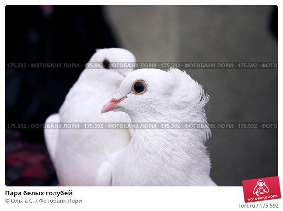 Пара белых голубей, фото № 175592, снято 28 июня 2017 г. (c) Ольга С. / Фотобанк Лори