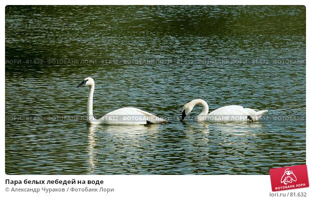 Пара белых лебедей на воде, фото № 81632, снято 13 августа 2006 г. (c) Александр Чураков / Фотобанк Лори