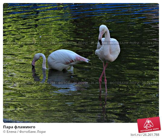 Пара фламинго. Стоковое фото, фотограф Елена / Фотобанк Лори