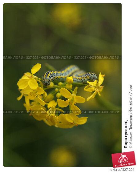 Купить «Пара гусенец», фото № 327204, снято 11 июня 2006 г. (c) Максим Пименов / Фотобанк Лори