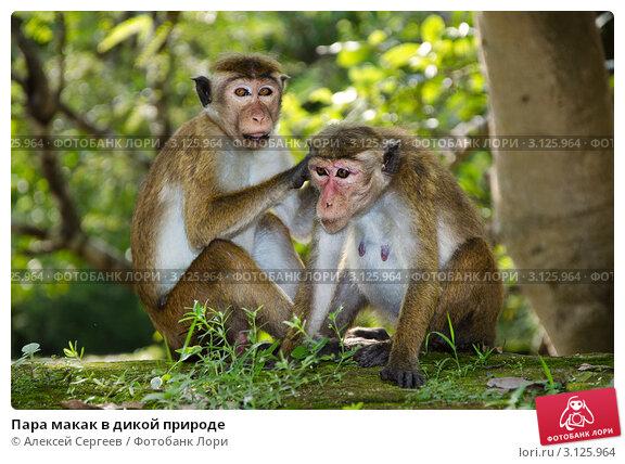 Купить «Пара макак в дикой природе», фото № 3125964, снято 5 декабря 2011 г. (c) Алексей Сергеев / Фотобанк Лори