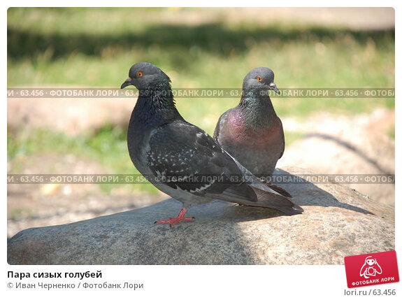 Пара сизых голубей, фото № 63456, снято 11 июля 2007 г. (c) Иван Черненко / Фотобанк Лори