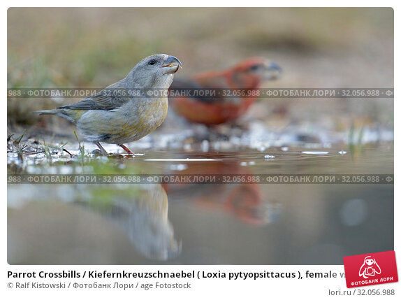 Parrot Crossbills / Kiefernkreuzschnaebel ( Loxia pytyopsittacus ), female with male, drinking at a natural puddle.. Стоковое фото, фотограф Ralf Kistowski / age Fotostock / Фотобанк Лори
