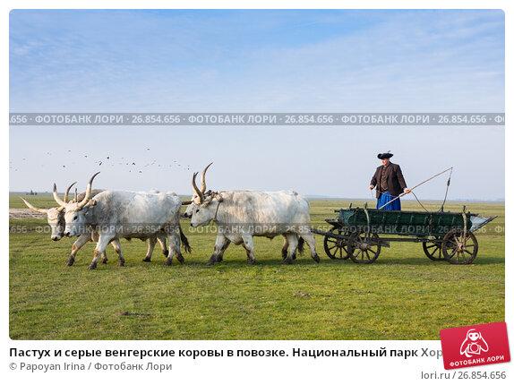 Купить «Пастух и серые венгерские коровы в повозке. Национальный парк Хортобадь, Венгрия», фото № 26854656, снято 31 октября 2015 г. (c) Papoyan Irina / Фотобанк Лори