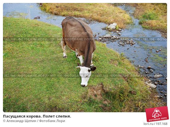 Пасущаяся корова. Полет слепня., эксклюзивное фото № 197168, снято 24 сентября 2007 г. (c) Александр Щепин / Фотобанк Лори