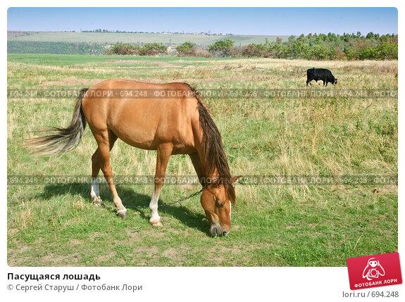 Пасущаяся лошадь, фото № 694248, снято 25 августа 2007 г. (c) Сергей Старуш / Фотобанк Лори