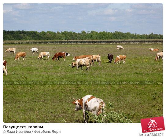 Пасущиеся коровы, фото № 286604, снято 9 мая 2008 г. (c) Лада Иванова / Фотобанк Лори
