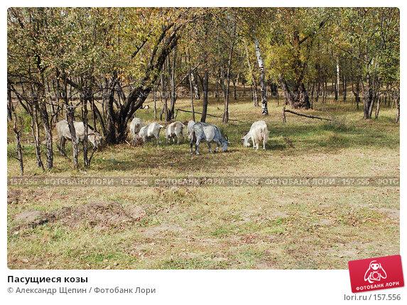 Пасущиеся козы, эксклюзивное фото № 157556, снято 24 сентября 2007 г. (c) Александр Щепин / Фотобанк Лори