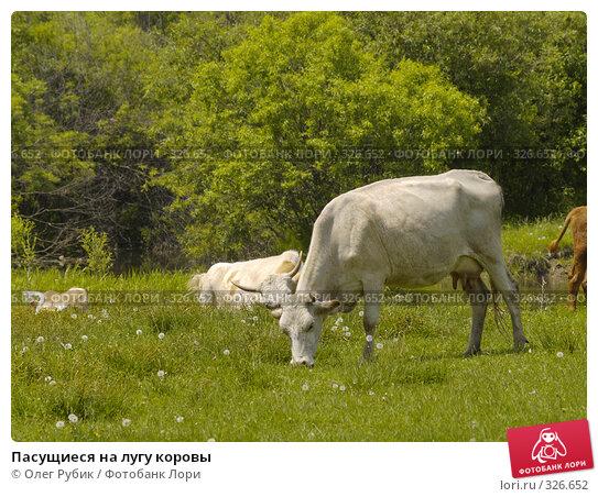 Купить «Пасущиеся на лугу коровы», фото № 326652, снято 8 июня 2008 г. (c) Олег Рубик / Фотобанк Лори