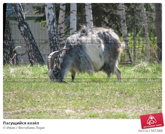 Пасущийся козёл, фото № 167044, снято 6 мая 2007 г. (c) Иван / Фотобанк Лори