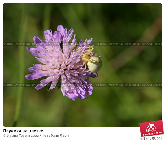 Паучиха на цветке, эксклюзивное фото № 58004, снято 28 июня 2007 г. (c) Ирина Терентьева / Фотобанк Лори