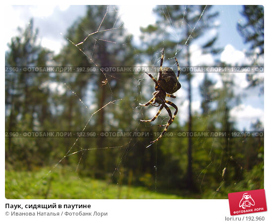 Паук, сидящий в паутине, фото № 192960, снято 2 августа 2007 г. (c) Иванова Наталья / Фотобанк Лори