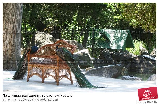 Павлины,сидящие на плетеном кресле, фото № 187116, снято 24 октября 2016 г. (c) Галина  Горбунова / Фотобанк Лори