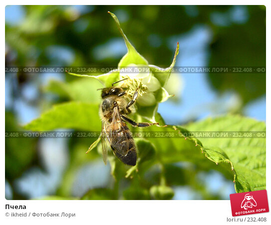 Пчела, фото № 232408, снято 30 марта 2017 г. (c) ikheid / Фотобанк Лори