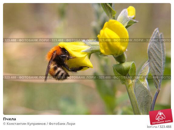 Пчела, фото № 323488, снято 24 мая 2008 г. (c) Константин Куприянов / Фотобанк Лори