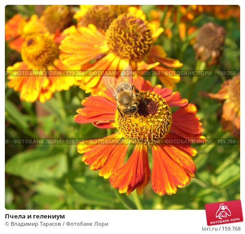 Пчела и гелениум, фото № 159768, снято 22 августа 2007 г. (c) Владимир Тарасов / Фотобанк Лори