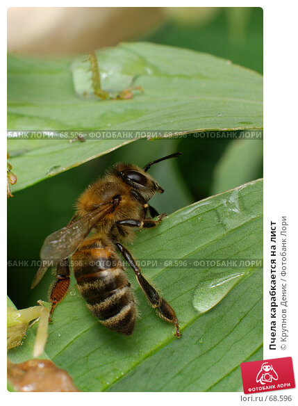 Пчела карабкается на лист, фото № 68596, снято 3 июля 2007 г. (c) Крупнов Денис / Фотобанк Лори