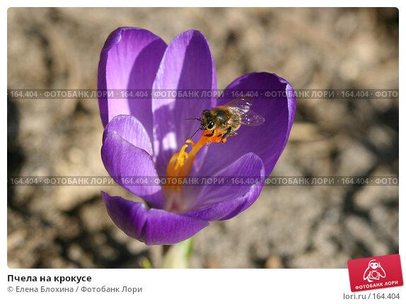 Пчела на крокусе, фото № 164404, снято 27 марта 2007 г. (c) Елена Блохина / Фотобанк Лори