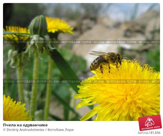 Пчела на одуванчике, фото № 81656, снято 30 апреля 2007 г. (c) Dmitriy Andrushchenko / Фотобанк Лори