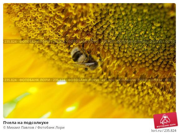 Пчела на подсолнухе, фото № 235824, снято 19 августа 2007 г. (c) Михаил Павлов / Фотобанк Лори