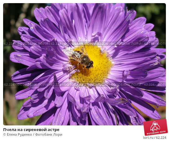 Пчела на сиреневой астре, фото № 62224, снято 20 августа 2005 г. (c) Елена Руденко / Фотобанк Лори