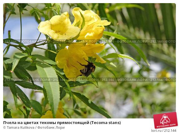 Купить «Пчела на цветах текомы прямостоящей (Tecoma stans)», фото № 212144, снято 4 января 2008 г. (c) Tamara Kulikova / Фотобанк Лори