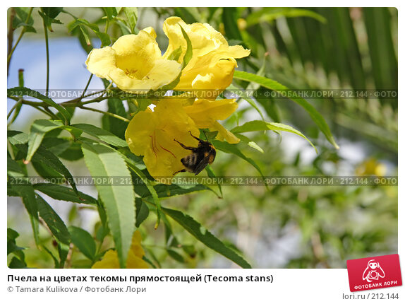 Пчела на цветах текомы прямостоящей (Tecoma stans), фото № 212144, снято 4 января 2008 г. (c) Tamara Kulikova / Фотобанк Лори