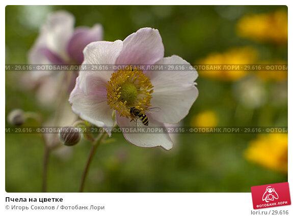 Купить «Пчела на цветке», фото № 29616, снято 24 ноября 2017 г. (c) Игорь Соколов / Фотобанк Лори