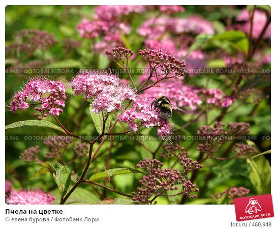 Купить «Пчела на цветке», фото № 460948, снято 13 июля 2008 г. (c) елена бурова / Фотобанк Лори