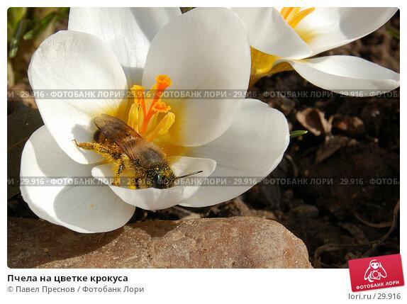 Пчела на цветке крокуса, фото № 29916, снято 11 апреля 2006 г. (c) Павел Преснов / Фотобанк Лори