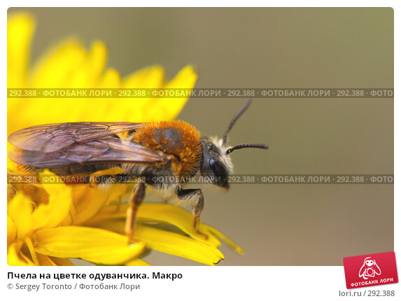 Пчела на цветке одуванчика. Макро, фото № 292388, снято 10 мая 2008 г. (c) Sergey Toronto / Фотобанк Лори