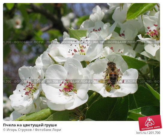 Пчела на цветущей груше, фото № 201700, снято 30 апреля 2005 г. (c) Игорь Струков / Фотобанк Лори