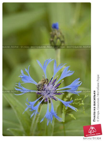 Пчела на васильке, фото № 51924, снято 18 августа 2017 г. (c) Игорь Соколов / Фотобанк Лори