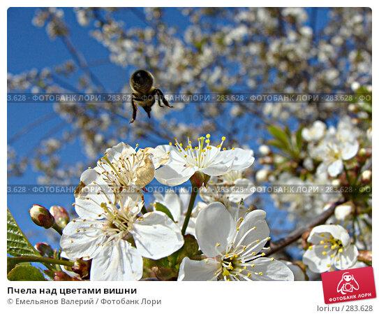 Пчела над цветами вишни, фото № 283628, снято 11 мая 2008 г. (c) Емельянов Валерий / Фотобанк Лори