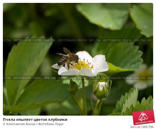 Пчела опыляет цветок клубники, фото № 269736, снято 23 марта 2017 г. (c) Константин Босов / Фотобанк Лори