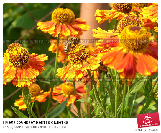 Пчела собирает нектар с цветка, фото № 159804, снято 22 августа 2007 г. (c) Владимир Тарасов / Фотобанк Лори