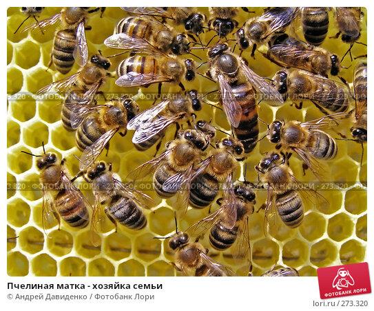 Пчелиная матка - хозяйка семьи, фото № 273320, снято 12 июля 2007 г. (c) Андрей Давиденко / Фотобанк Лори