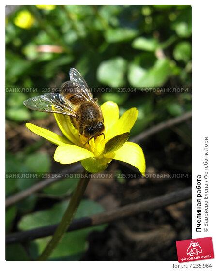 Пчелиная работа, фото № 235964, снято 26 мая 2017 г. (c) Завриева Елена / Фотобанк Лори
