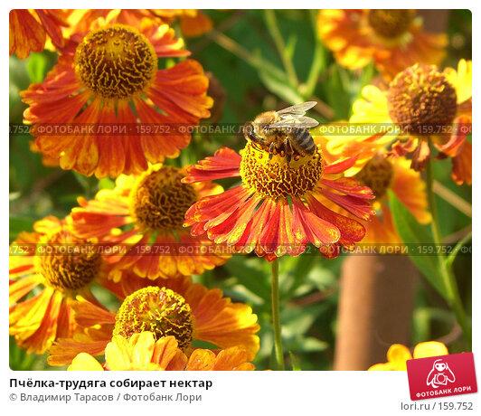 Купить «Пчёлка-трудяга собирает нектар», фото № 159752, снято 22 августа 2007 г. (c) Владимир Тарасов / Фотобанк Лори