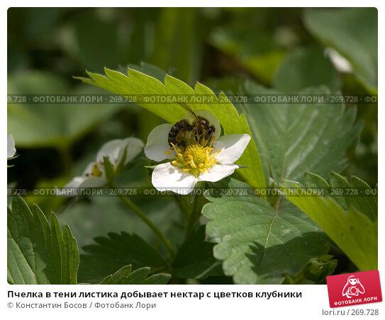 Пчелка в тени листика добывает нектар с цветков клубники, фото № 269728, снято 24 сентября 2017 г. (c) Константин Босов / Фотобанк Лори