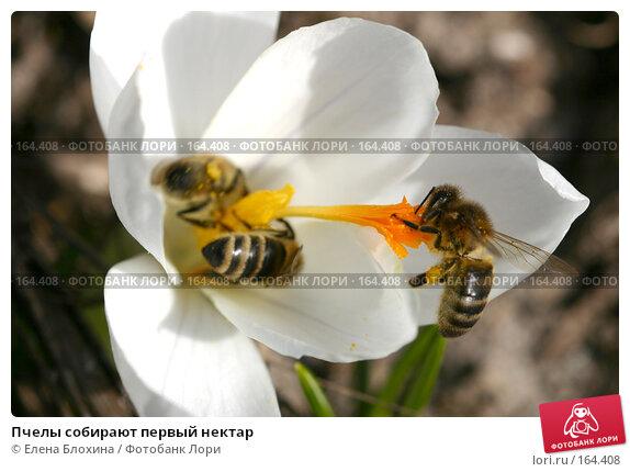 Пчелы собирают первый нектар, фото № 164408, снято 27 марта 2007 г. (c) Елена Блохина / Фотобанк Лори