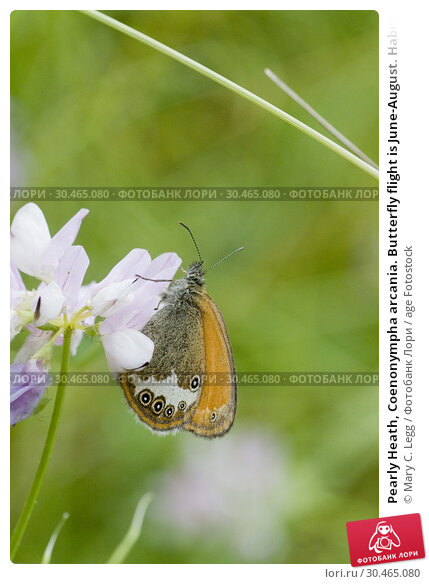Pearly Heath, Coenonympha arcania. Butterfly flight is June-August. Habitat: light forests, nutient poor grasslands, damp clearings. Host plants: Brachypodium... Стоковое фото, фотограф Mary C. Legg / age Fotostock / Фотобанк Лори
