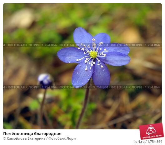 Купить «Печёночница благородная», фото № 1754864, снято 1 мая 2010 г. (c) Самойлова Екатерина / Фотобанк Лори