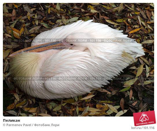 Пеликан, фото № 101116, снято 8 ноября 2004 г. (c) Parmenov Pavel / Фотобанк Лори