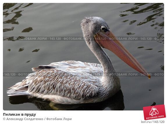 Купить «Пеликан в пруду», фото № 143120, снято 11 ноября 2007 г. (c) Александр Солдатенко / Фотобанк Лори
