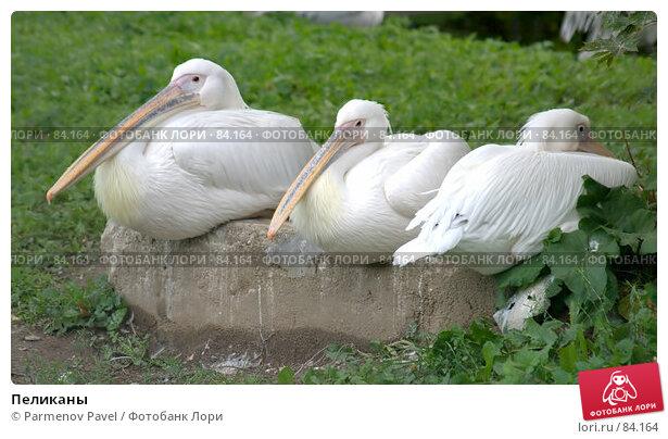 Пеликаны, фото № 84164, снято 4 сентября 2007 г. (c) Parmenov Pavel / Фотобанк Лори